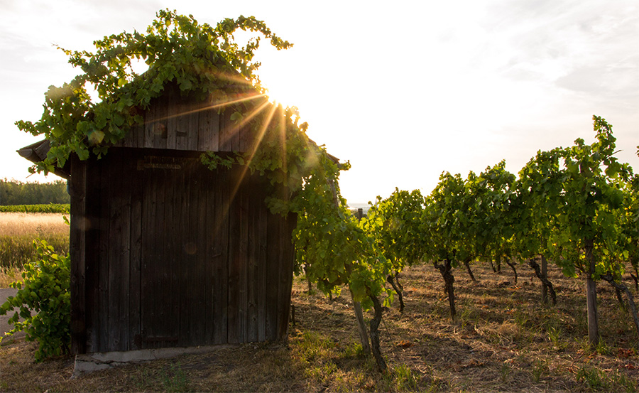 photo of a vineyard